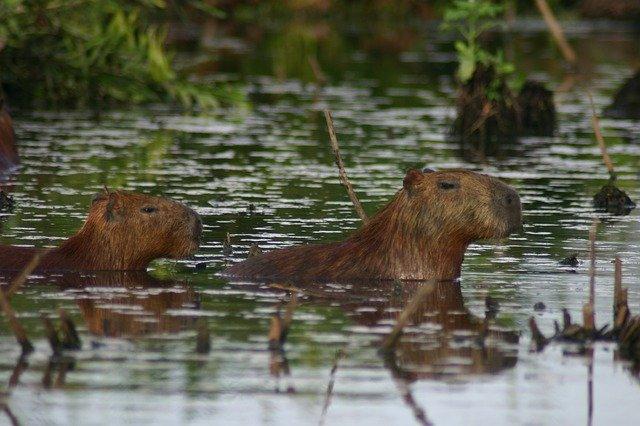 kapybary vodní.jpg