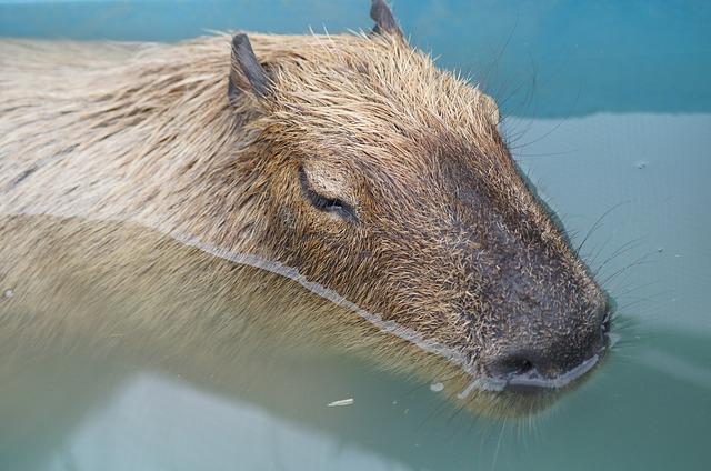 kapybara ve vodě.jpg